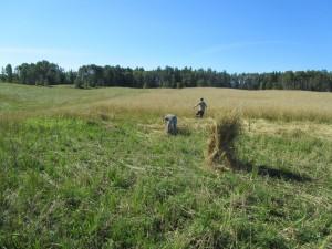 Grain-Harvest-Sundre-300x225