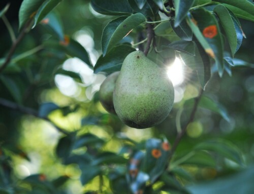 Guest Reflection: Backyard Pear Tree by Jolene Nolte
