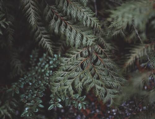 Guest Reflection: Cedars by Jolene Nolte