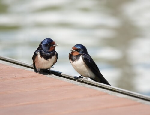 Be A Good Barn Swallow Host