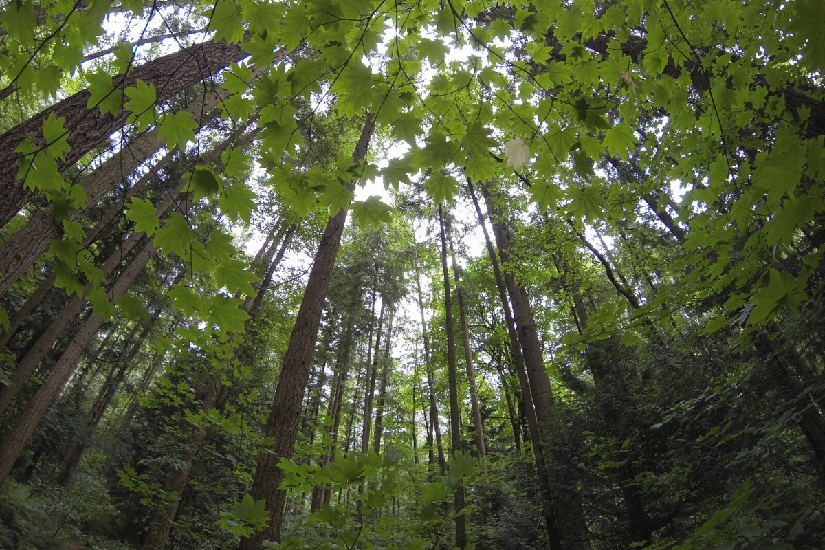 Wide shot of trees in a forest