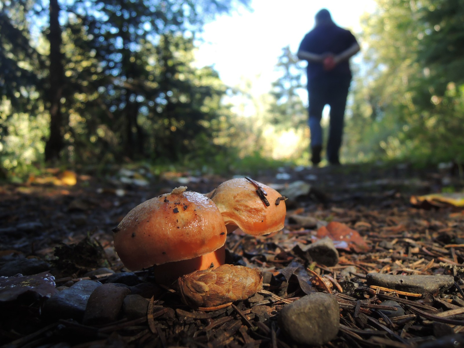 Mushroom on a dirt path with someone walking away in the background